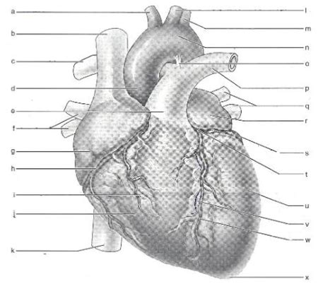 Sporcle Periodic Table Human Heart Anatomy Quiz By Mg75535