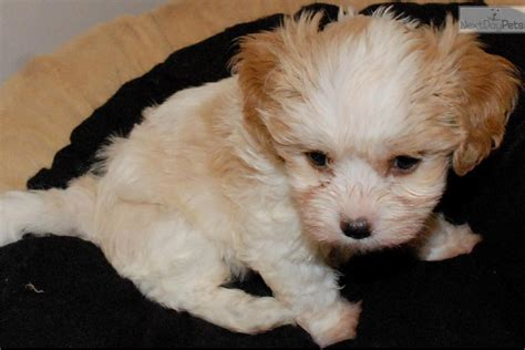 cavanese puppies cavanese puppy for sale near houston 34a75d8d 4871