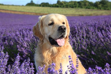 lavender on dogs lordington lavender gallery