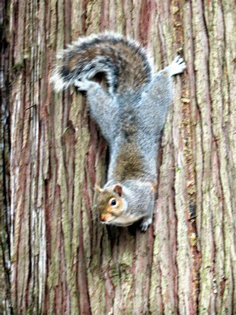 how to hunt squirrels in your backyard galla feist squirrel photo gallery squirrels in the yard