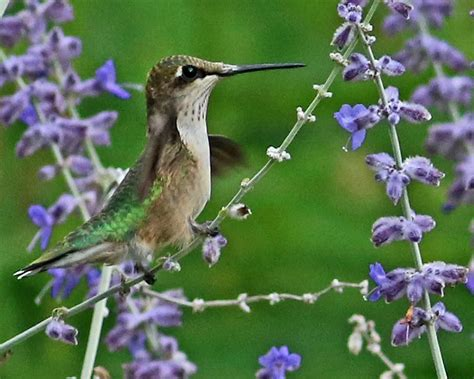 hummingbird nectar sources for fall