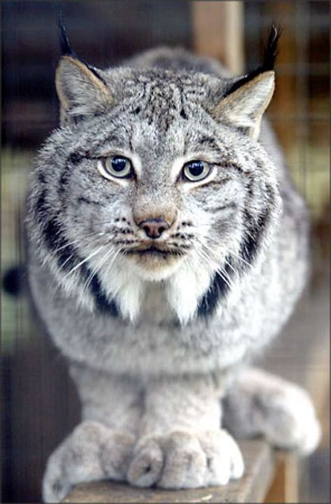 exotic house cats exotic pet cat breeds www pixshark com images galleries with a bite