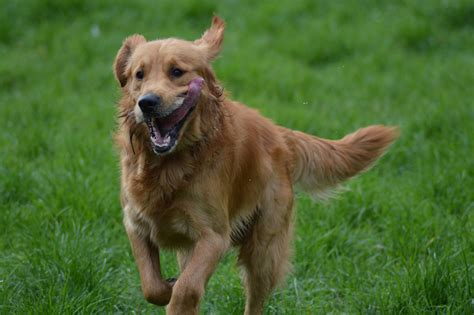 golden retriever similar dogs free images nature run animal golden retriever animals vertebrate breed