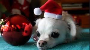 christmas chihuahua cuteness
