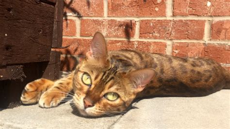 beautiful bengal kittens cats kittens for rehoming beautiful bengal for rehome hinckley leicestershire