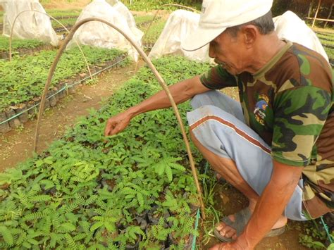 Bibit Sengon Umur 3 Bulan bibit sengon laut ber mikoriza agroklinik