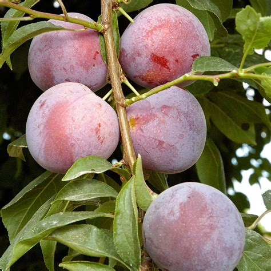 japanese plum tree fruit methley plum tree japanese type semi 19 99 zone