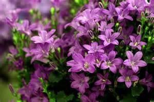 Bell Flower Perennial - campanulas purple get mee white wonder flowers rocket farms