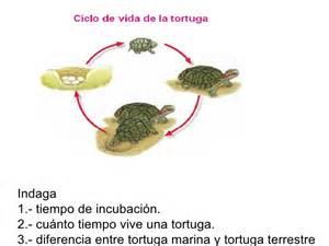 imagenes de ciclo de vida de la tortuga el ciclo de vida de la tortuga imagui