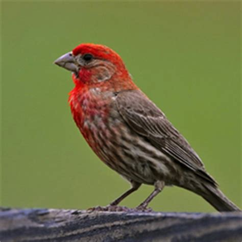 tennessee watchable wildlife house  purple finch