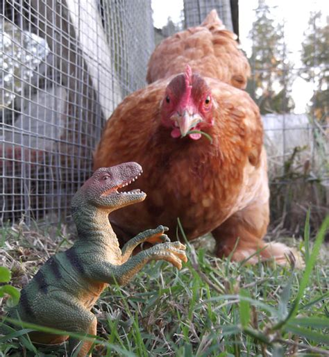chicken dinosaurs in my backyard my pet chicken