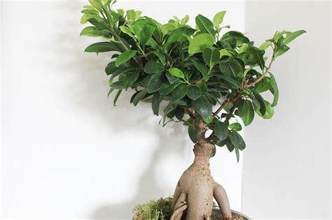 Formidable Toutes Les Plantes Vertes D Interieur #3: entretien-plantes-vertes-ficus-ginseng-bonsai-decoration-FrenchyFancy-14.jpg