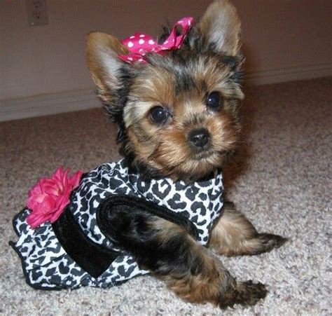 tea cup yorkie poo adorable tea cup yorkie poo i want doggie boutique