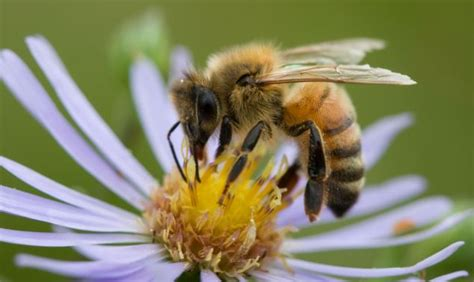 Bee Traning bees to sniff out landmines in the balkans