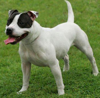 all about staffordshire bull terriers: treats and chews