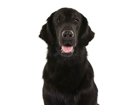 Flat Coat Retriever Shedding by Flat Coated Retriever Breed Information American