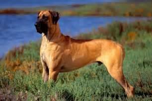 Great Dane Breeders Great Dane Puppies For Sale From Reputable Breeders