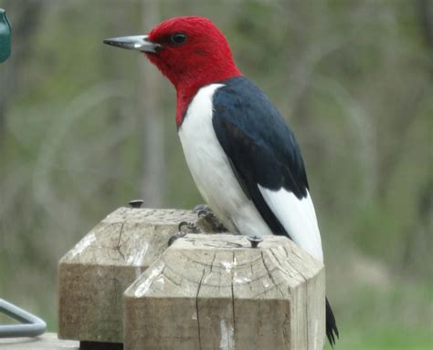 red headed woodpecker red headed woodpecker pictures red headed woodpecker facts habitat diet life cycle