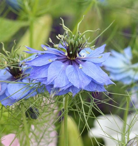 persian jewels nigella seeds