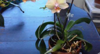 orchidea non fiorisce come favorire la fioritura delle orchidee 12 passaggi