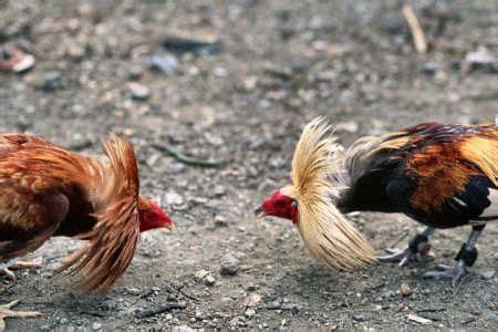 imagenes de gallo ingles peleas de gallos en costa rica una actividad que quieren