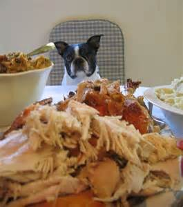 boston thanksgiving another thanksgiving recipe for your boston terrier