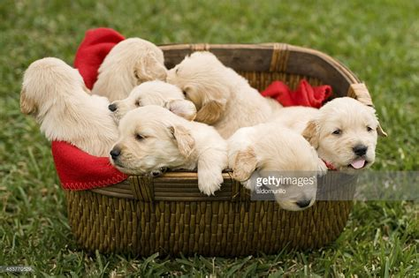 shoo for puppies playful puppies stock photo getty images