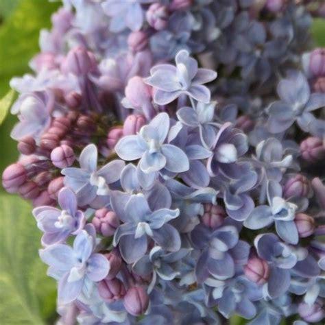 Pflanze Bestellen 655 by 79 Besten Flieder Bilder Auf Flieder Blumen