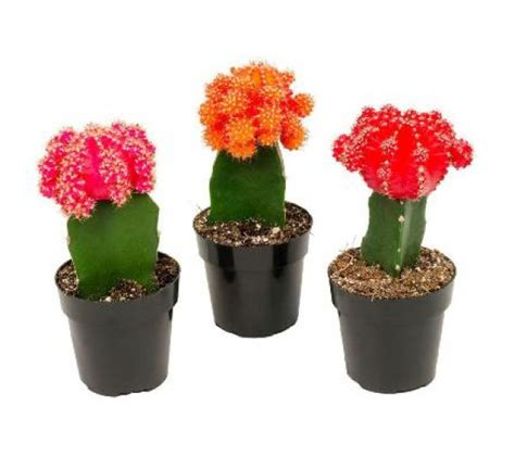 moon cactus pack   colors red pink yellow orange