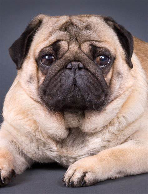 pug breed pug puppies breed breeds picture