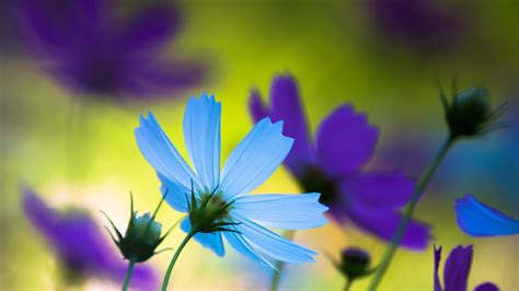 wallpaper cosmos flowers blue purple flowers 327
