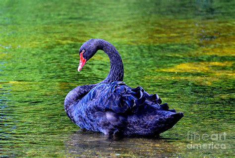 Bloues Swan Blue Swan Photograph By Luminita Suse