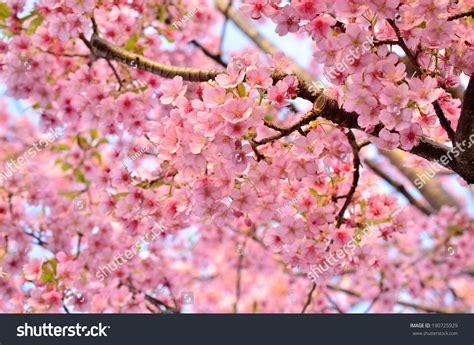 cherry blossom scientific name cerasus yedoensis stock photo 190725929 shutterstock