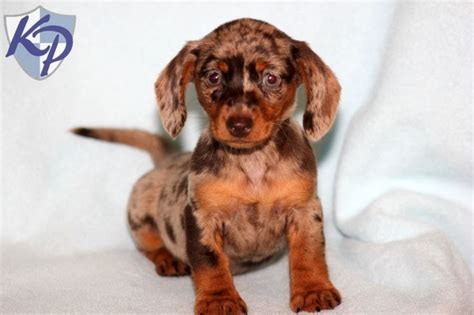 dachshund mix puppies for sale the 25 best dachshund puppies for sale ideas on daschund puppies for sale