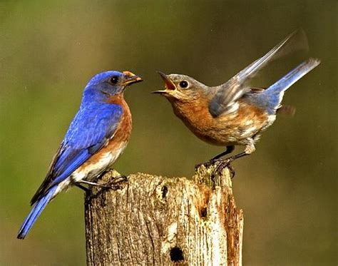 eastern bluebird facts