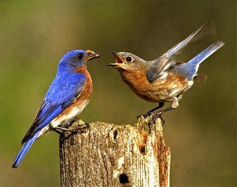 eastern bluebird facts