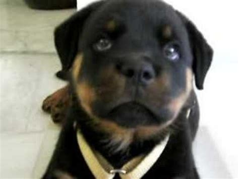 my puppy gets hiccups best 25 rottweiler puppies ideas on puppy breeds rottweiler and
