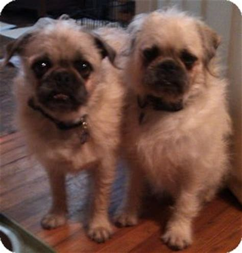pug and poodle mix for sale pug puppies for adoption in california breeds picture