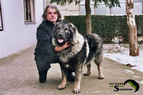 sarplaninac puppy sarplaninac kennel fci 4302 by nebojsa history of breed