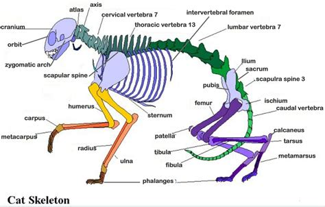 labeled cat skeleton diagram labeled cat skeleton diagram anatomy organ