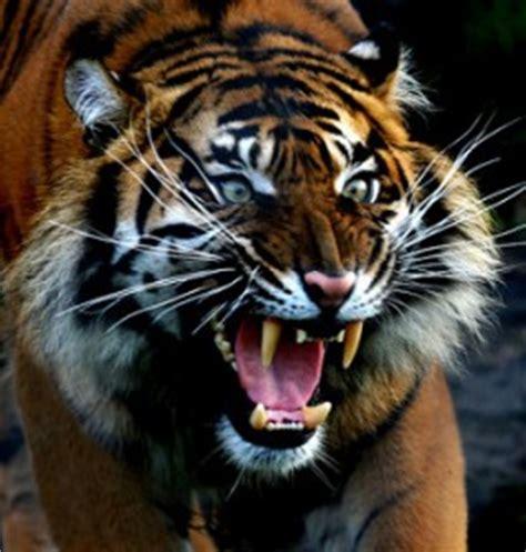 tigre in gabbia sognare una tigre significato sogni