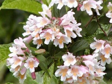early pink flowering shrubs more flowering plants diy
