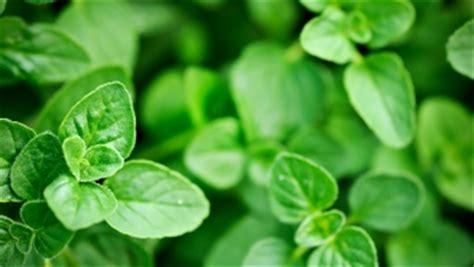 origan frais en cuisine origan valeur nutritive bienfaits sant 233 et conservation
