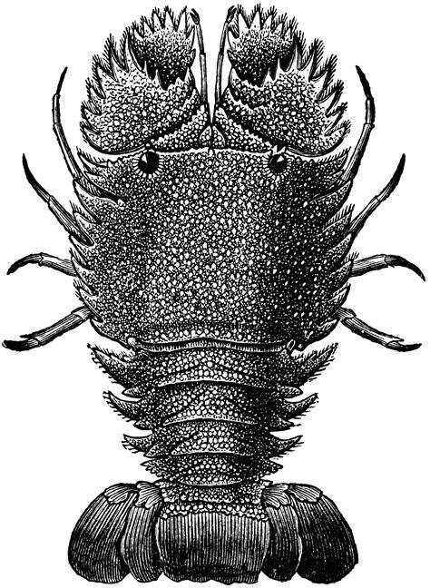 Slipper Lobster | ClipArt ETC