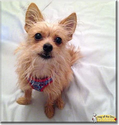 cairn terrier mix puppies quot peanut the chihuahua cairn terrier mix quot of the day november 23 2015