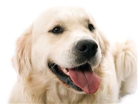 golden retriever varieties top 10 dogs