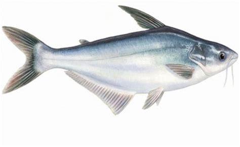 Skop Kecil Gg Kayu Lokal teknik pemijahan ikan patin secara buatan induce
