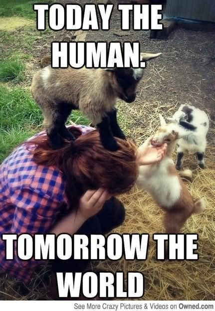 Today S Memes - 35 most funny goat meme pictures and images