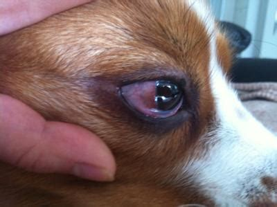 eye infections in dogs recurring eye infection