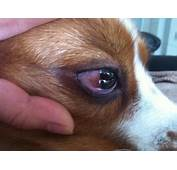 A Couple Of Days Ago My Dogs White His Eyes Was Swollen